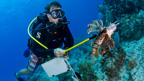 A scuba diver underwater with a speared lion fish