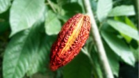 A red cacao pod on the tree