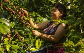 A woman in Guatemala picks fruit off a vine.