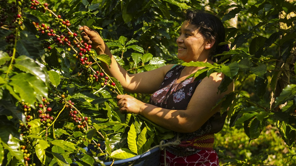 A woman in Guatemala picks fruit off a vine.
