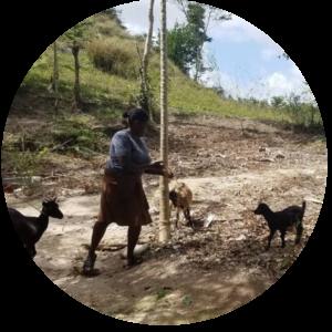 Henite Maurice alimenta a sus cabras.