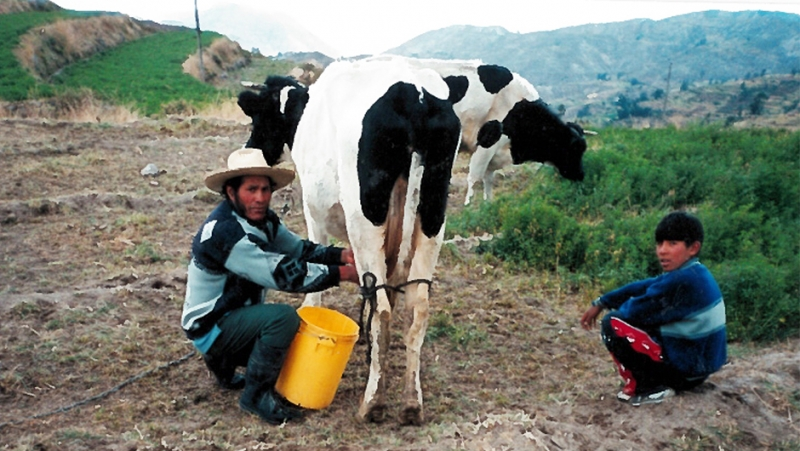 A Peruvian man milks a cow.