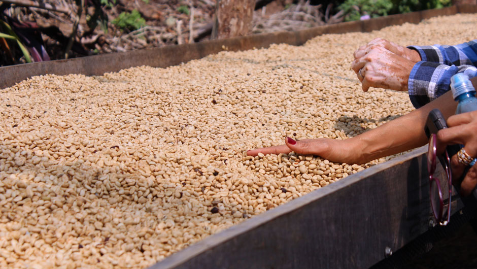 Two people touch a tray of drying coffee beans