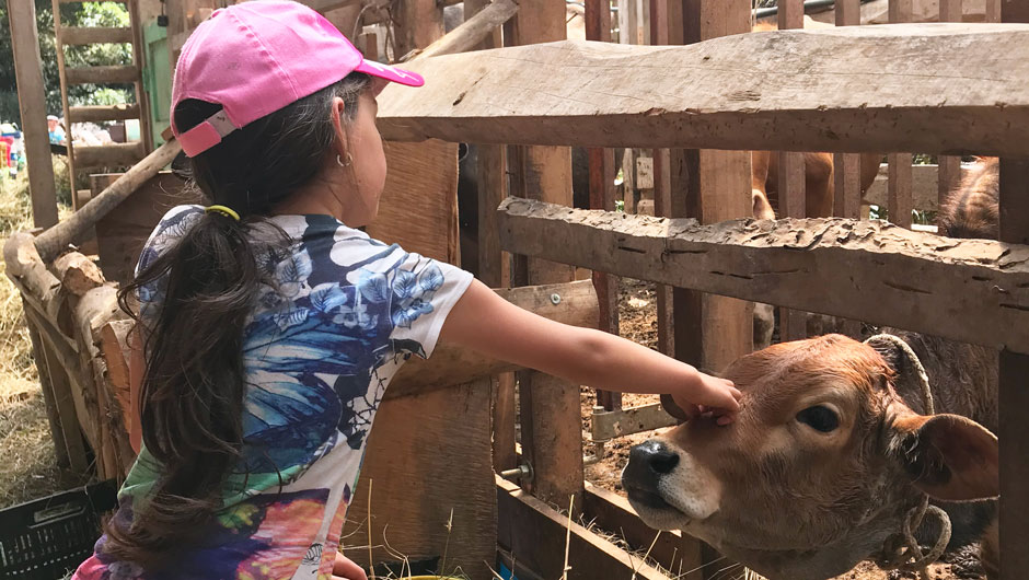 A young girls pets a calf's head through a wooden fence.