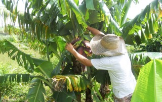 A farmer checks plaintains growing on a big leafy tree.