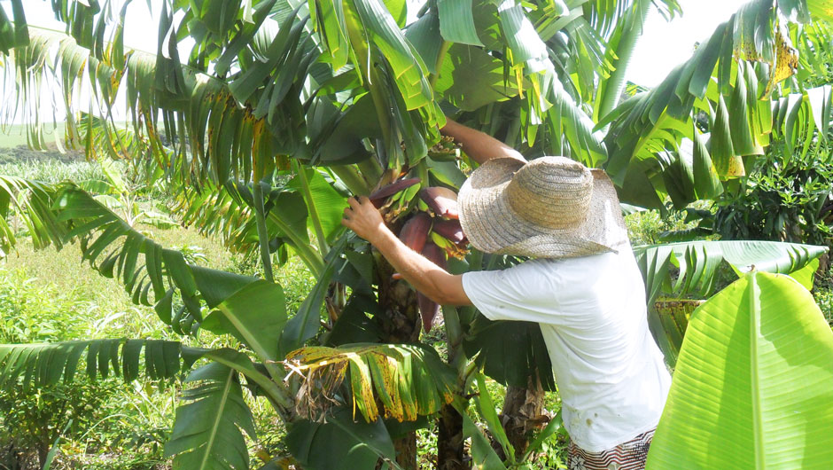 A farmer checks plaintains growing on a big leafy tree.