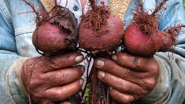 A farmer holds organic root vegetables freshly pulled from the ground.